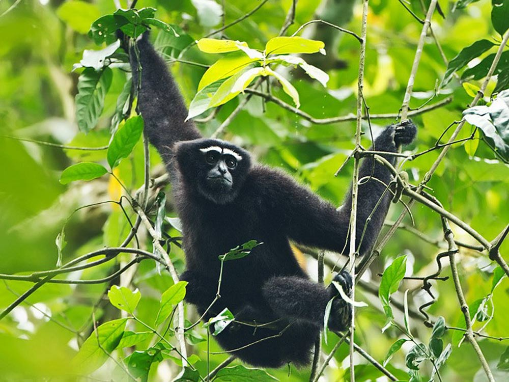 Endangered Hoolock Gibbon