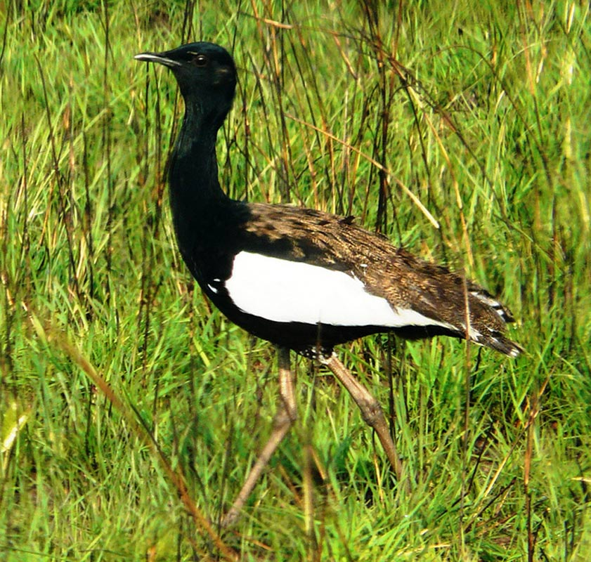 The Bengal florican